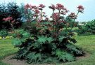 Rheum palmatum (Turkey Rhubarb) medicinal uses and side effects