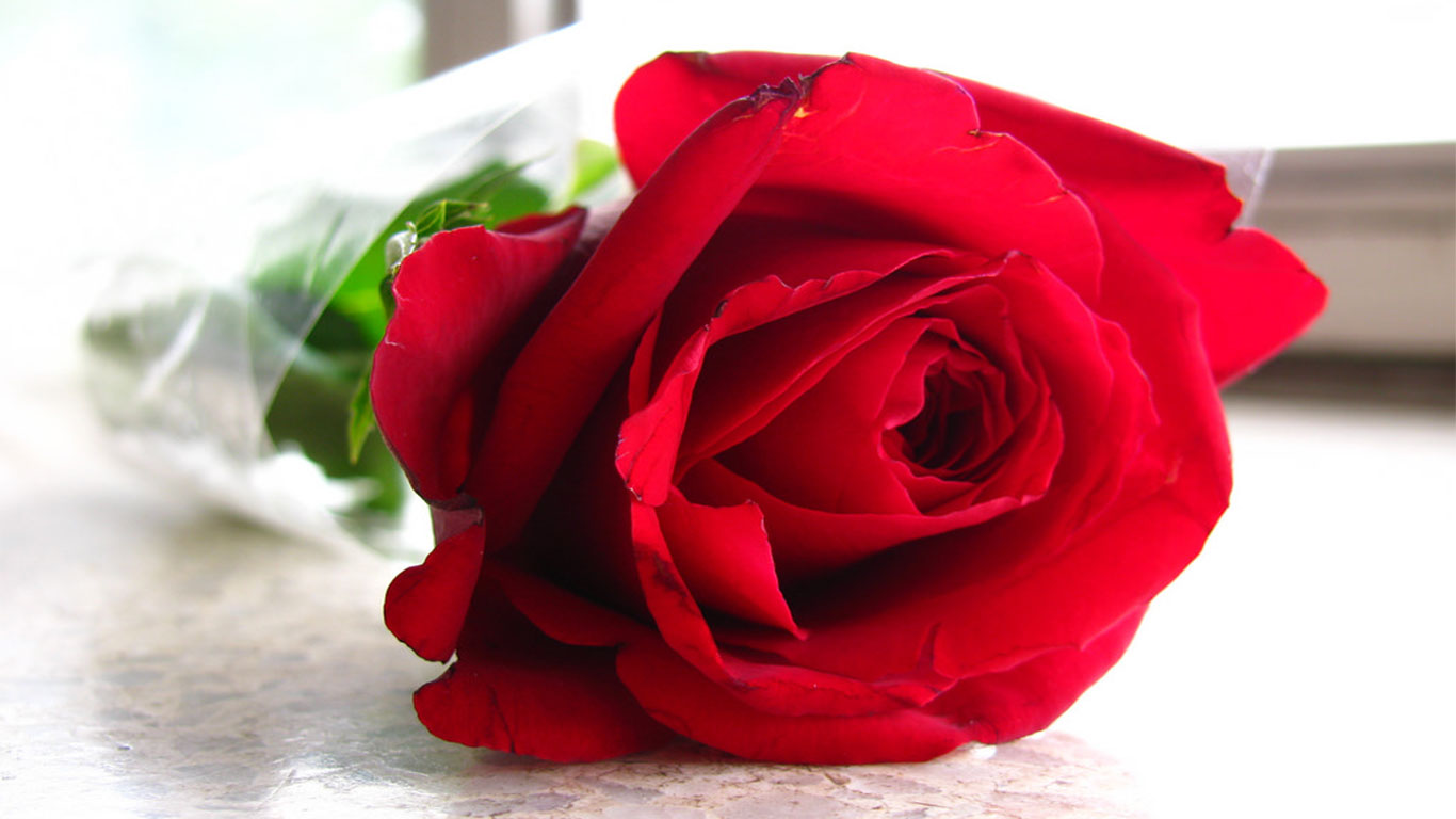 Beautiful rose flowers wallpapers free