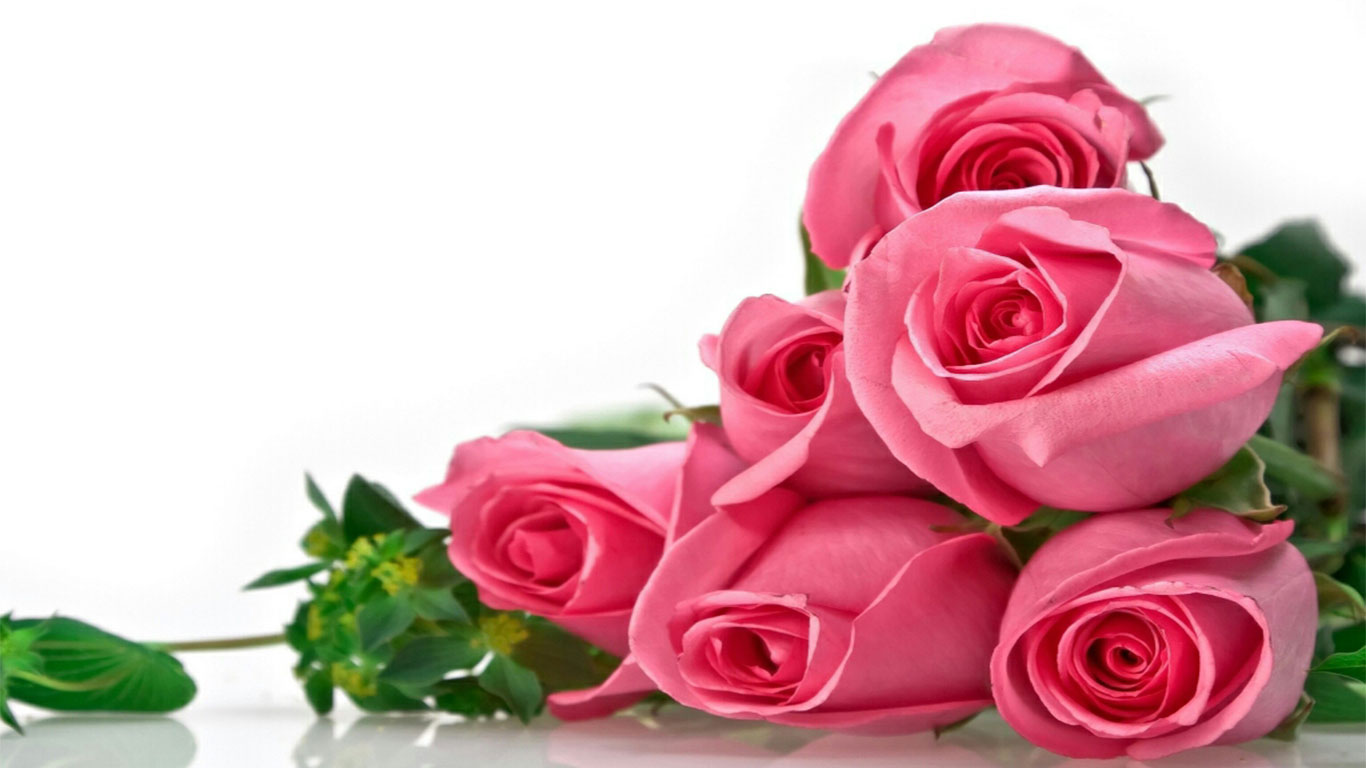 pink rose beautiful images