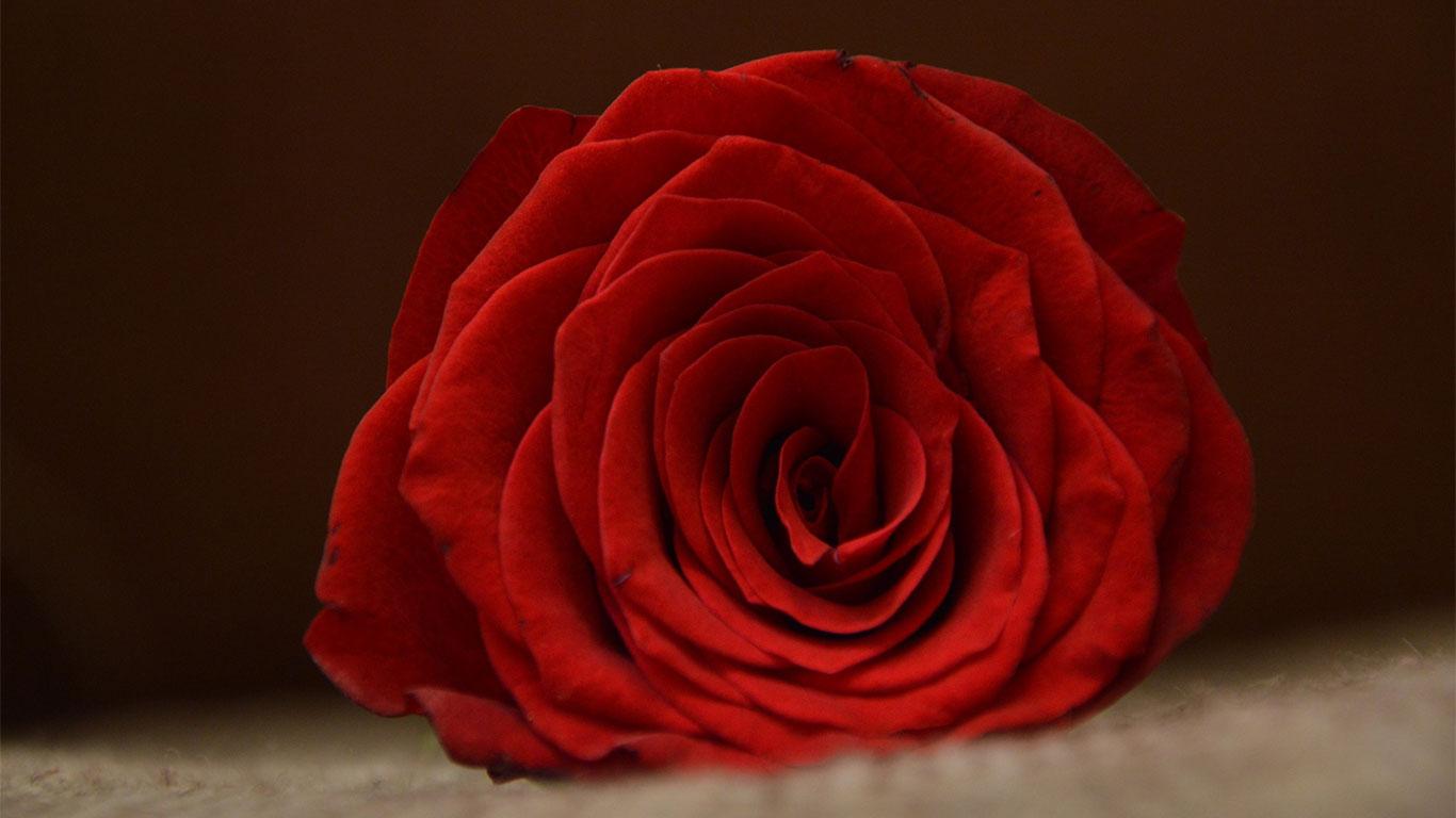 red rose wallpaper hd