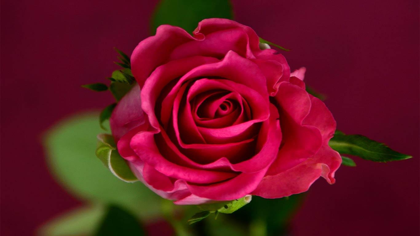 rose flower images free download